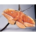 Chinese Oak Silkmoth A pernyi A Breeding stock of 5 cocoons