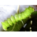 Chinese Moon Moth Actias sinensis 15 eggs