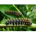 Madagascan Emperor Antherina suraka eggs and larvae SPECIAL PRICES!