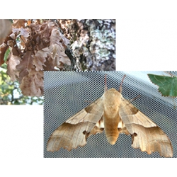 Oak Hawk Marumba quercus PAIR of pupae