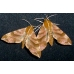 Ampelophaga rubiginosa from Far Eastern Russia A breeding stock of 5 pupae