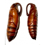 Carolina Sphinx Moth Manduca sexta pupae