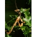 Macleay's Spectre (Prickly Stick Insect) tiaratum FOUR nymphs