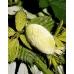 Antheraea yamamai 15  Eggs