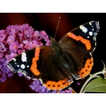 Red Admiral atalanta larvae SPECIAL PRICES!