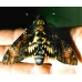 Deathshead Hawk atropos A single lot of 3 pupae