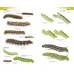 Caterpillars of Great Britain and Ireland - New and accurate Field Guide