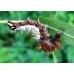 Comma larvae c-album 20 larvae