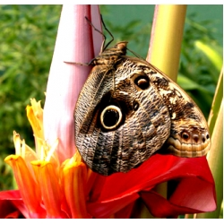 Owl Butterfly Caligo species 4 pupae