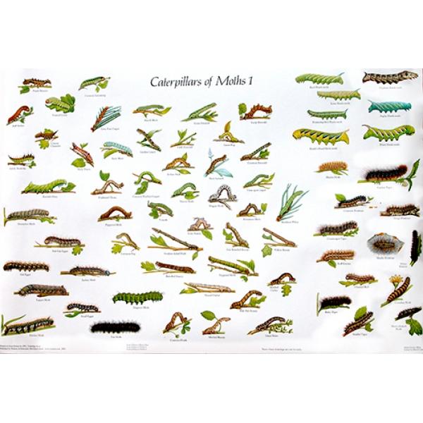 Moth Caterpillar Identification Chart: British Butterflies Identification Chart