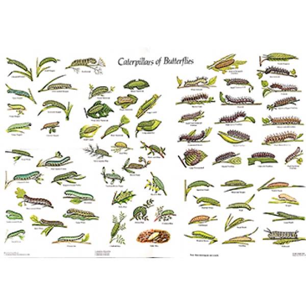 Moth Caterpillar Identification Chart