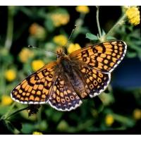 Glanville Fritillary cinxia 5 pupae