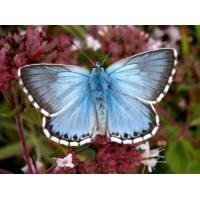 Chalkhill Blue Lysandra coridon 15 eggs