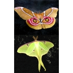 DUO Madagascan Emperor Antherina suraka and American Moon Moth luna 10 eggs of each