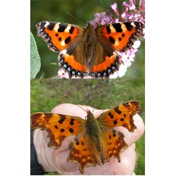 DUO Small Tortoiseshell urticae and Comma Butterfly c-album. Ten larvae of each.
