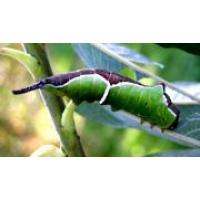 Ermine Puss Moth D erminea 5 pupae