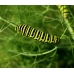 European Swallowtail machaon gorganus winter pupae