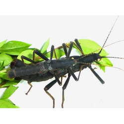 Peruvian Black Beauty Stick Insect Peruphasma schultei A Breeding PAIR.  SPECIAL REDUCTION!