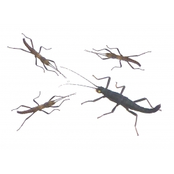 Peruvian Black Beauty Stick Insect Peruphasma schultei 6 nymphs