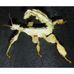 Macleay's Spectre (Prickly Stick Insect) Extatosoma tiaratum 10 eggs