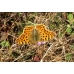 Queen of Spain Fritillary lathonia 10 Larvae