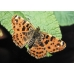 Map Butterfly levana  Pupae