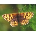 Duke of Burgundy Fritillary lucina 5 pupae
