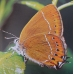Black Hairstreak S. pruni TEN eggs