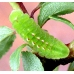 Black Hairstreak pruni 5 pupae SPECIAL PRICE!