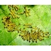 Buff Tip Moth bucephala Eggs at special prices