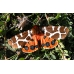 Garden Tiger caja Woolly Bears 50 larvae