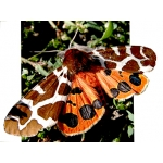 Garden Tiger caja Woolly Bears. PUPAE. SPECIAL PRICES!
