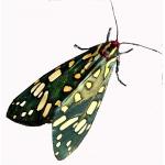 The Emerald Tiger Callindra principalis  pupae