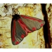 Cinnabar Moth Hipocrita jacobaeae pupae