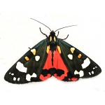 Scarlet Tiger Moth dominula 100 eggs SPECIAL PRICE!
