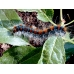 Small Eggar Moth Eriogaster lanestris FIVE MALE cocoons SPECIAL PRICE!