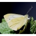 Green-veined White napi Pupae