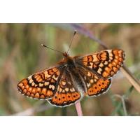 Beckeri Marsh Fritillary Euodrydryas beckeri 10 larvae
