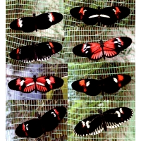 Heliconius melpomone Amazing colour forms PUPAE