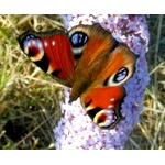 EARLY Peacock Butterfly Inachis io 10 larvae SPECIAL SALE PRICE
