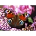 Peacock Butterfly Inachis io Pupae