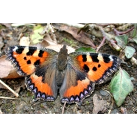 EARLY Small Tortoiseshell Aglais urticae 20 larvae SPECIAL PRICE