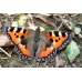 EARLY Small Tortoiseshell Aglais urticae 10 larvae SPECIAL PRICE