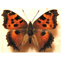 Yellow-legged or Scarce Large Tortoiseshell Nymphalis xanthomelas form Anna