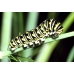 European Swallowtail machaon gorganus 5 pupae