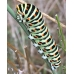 European Swallowtail P.machaon gorganus 15 eggs or 10 larvae according to availability