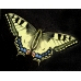 Swallowtail Papilio machaon machaon Sweden Breeding stock of 5 pupae