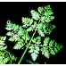 Milk Parsley Peucedanum palustre  Packet of seed