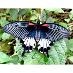 Great Mormon Papilio memnon from Asia  4 pupae