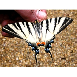 Scarce Swallowtail podalirius pupae SPECIAL PRICES